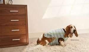 狗狗生殖器流脓是怎么了